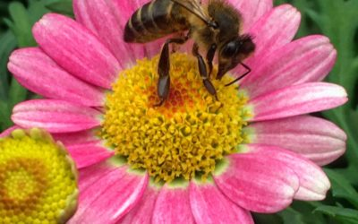 How microbes prime plant defenses against herbivorous insects